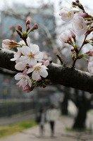 長崎の桜.jpg